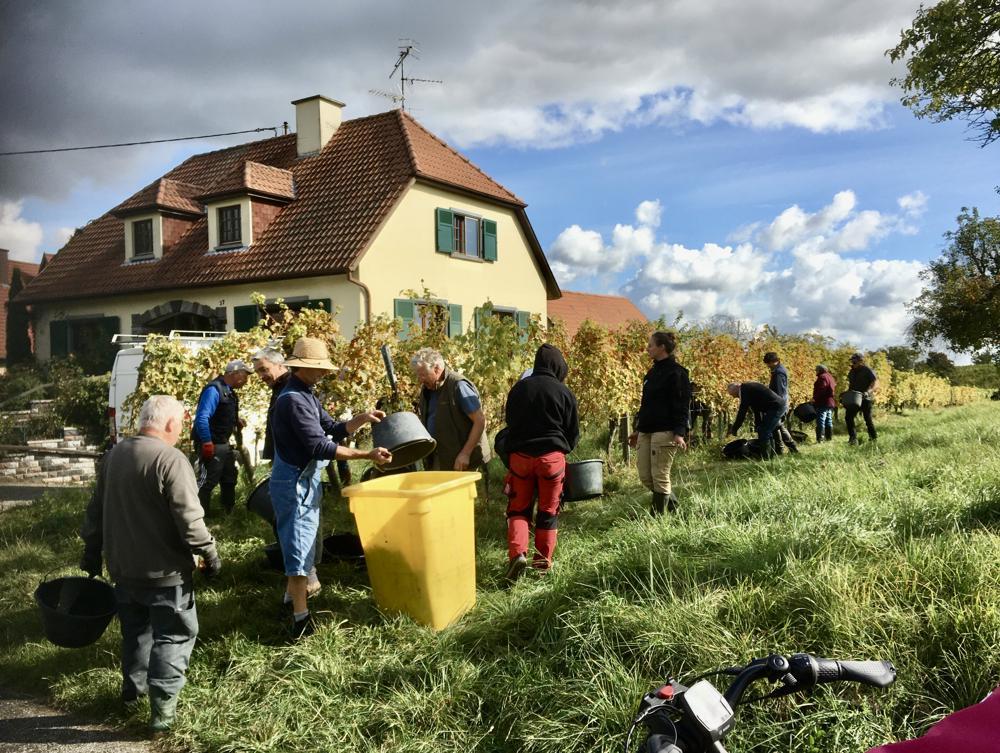 In de Franse Elzas was men afgelopen al druk bezig met de druivenpluk in de herfstzon.(Bron: Piet Vinken; Mittelbergheim)